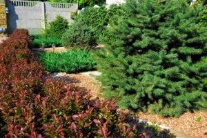 рядовые посадки, посадка барбарисов в изгородь, изгородь из барбариса, ландшафтный дизайн